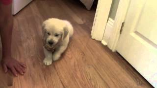 Golden Retriever - Temperament Test - Phoebe And Ivan Puppy Male 2 - Retriever Instinct