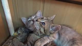 Больной котенок.Тигренок.