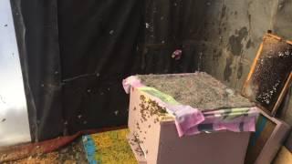 Облёт пчёл , Оренбургская область , Переволоцкий район , 4 марта 2017г