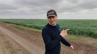 озимая пшеница 08.05.21 в гостях @Ernest- No-Till