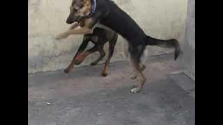 rottweiler vs german shepherd fight.
