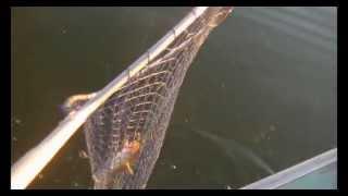 How To: Breaded Walley Recipe - Walleye Fishing 2013  - Vw Outdoors