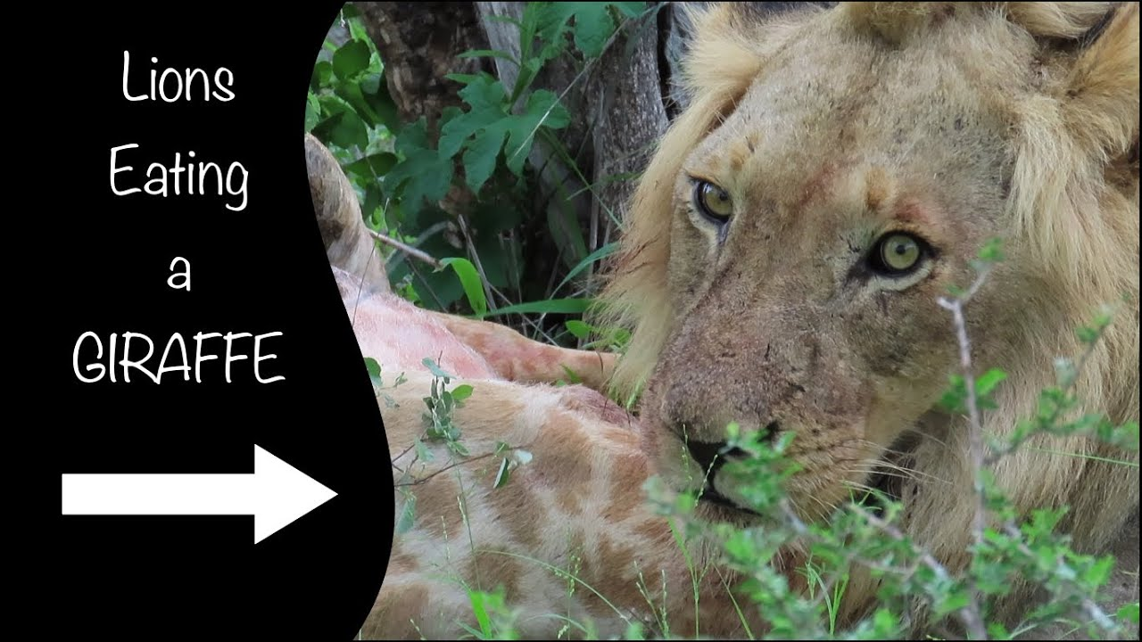 Male Lions Eat a Giraffe