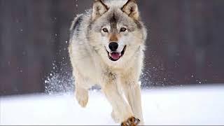 Смысловые Галлюцинации - Мысленный волк