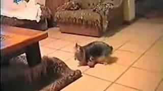super porn dog