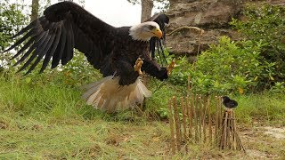 Forest men Make Quick Eagle Trap Using Primitive Source - How to Make Bird Trap to Work 100%