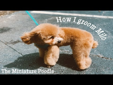 How I Groom a Mini Poodle in a Teddy Bear Clip ✂️