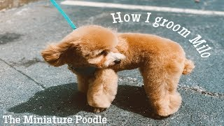 How I Groom a Mini Poodle in a Teddy Bear Clip ✂