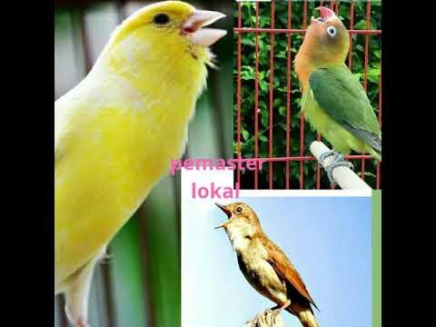Download Lagu Kombinasi masteran kenari sikatan londo lovebird