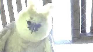 First Harpy Eagle Born in Captivity: Bella Horizon, BRAZIL