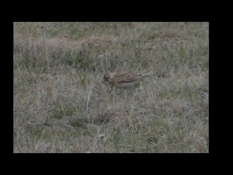 Skowronek (śpiew) - Eurasian skylark song  (Alauda arvensis) film + zdjęcia (video and photos)