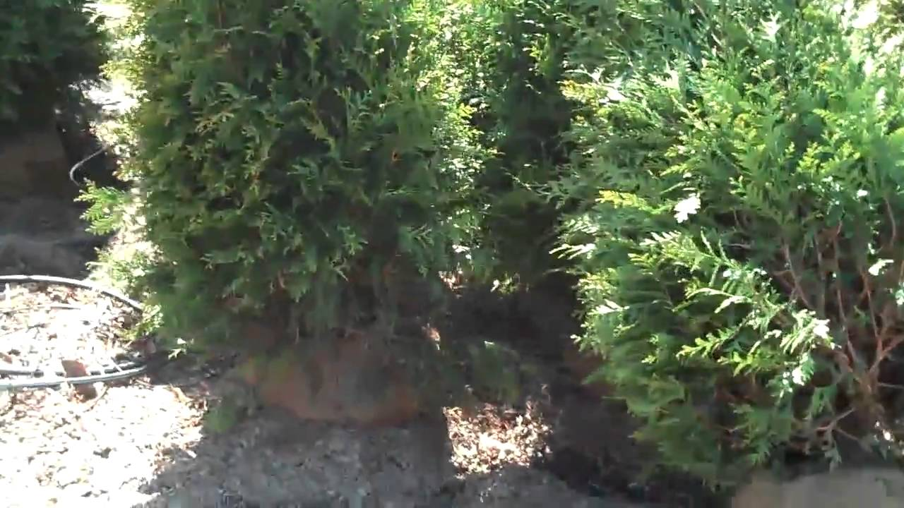 Pine Trees Ferns Cedar Shrubs Chris Orser Landscaping