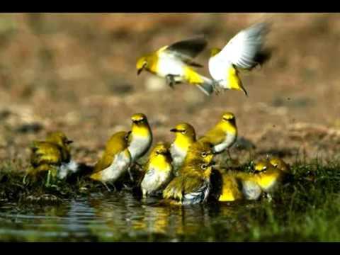 suara burung pleci koloni untuk terapi