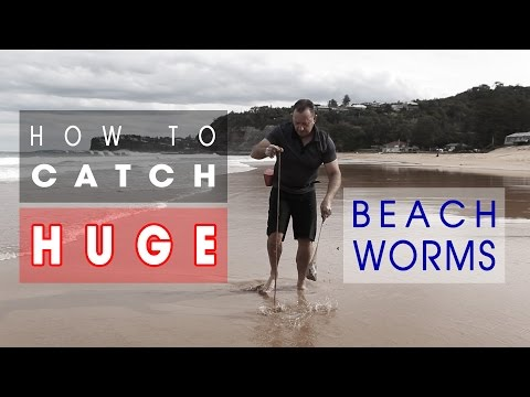 How To Catch HUGE Beach Worms!