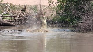Crocodile Flips Impala Over it's Head at Kruger!