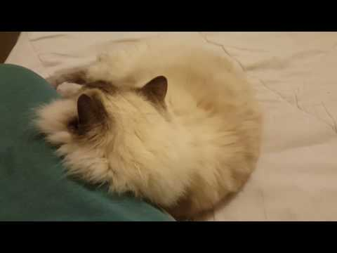 Ragdoll Cats Are So Affectionate