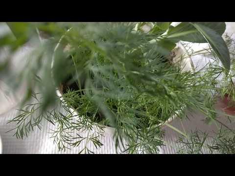 Вопрос: Почему укроп растущий на подоконнике хиленький?