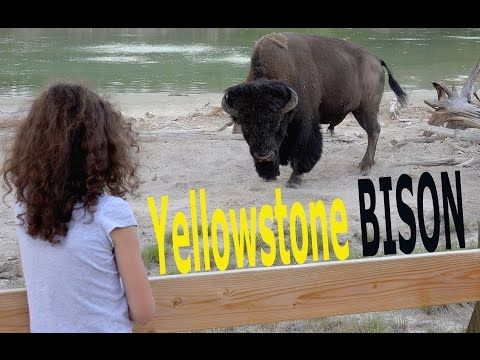 A symbol of wild America, the Yellowstone bison - Ultra HD (4K).