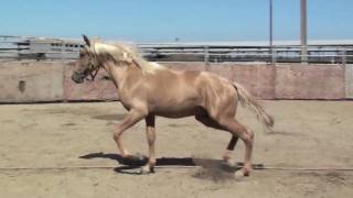 Andalusian and Lusitano Babies presented by DreamFriesians