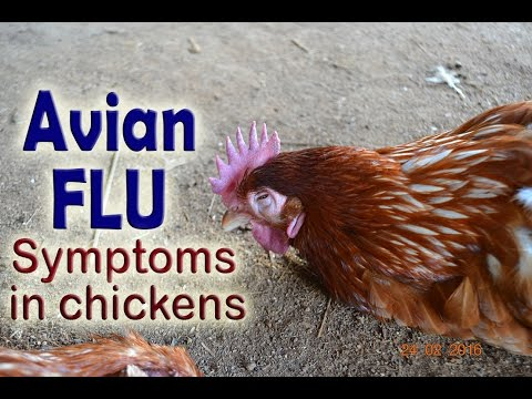 Bird Flu Symptoms, H5N1, Avian influenza in poultry, POULTRY DISEASES, Aviäre Influenza