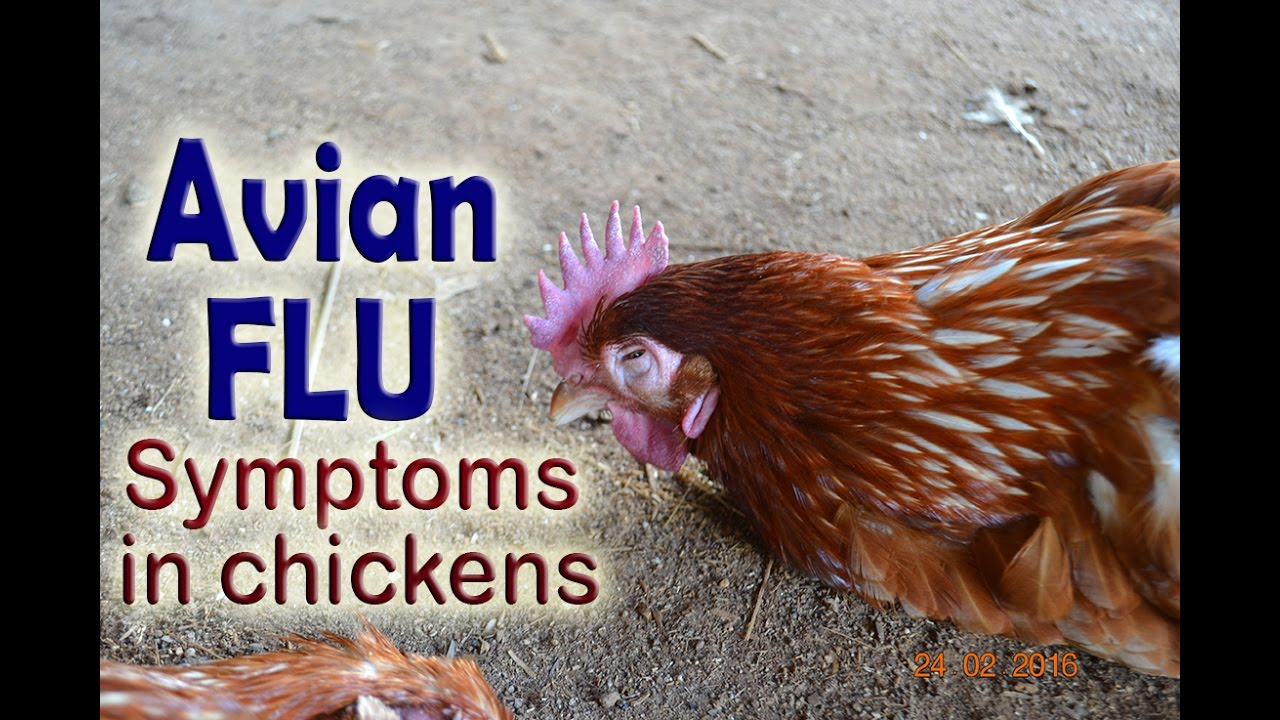 Bird Flu (Avian Flu)