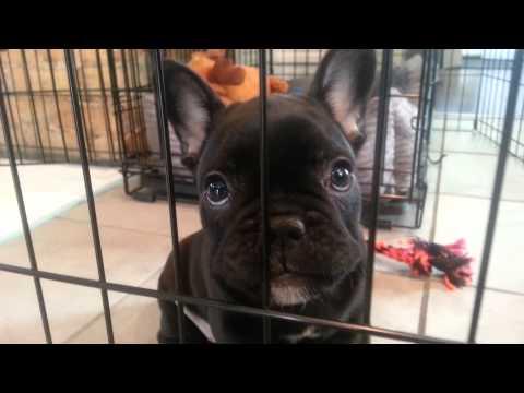 French Bulldog Puppy & A Mirror