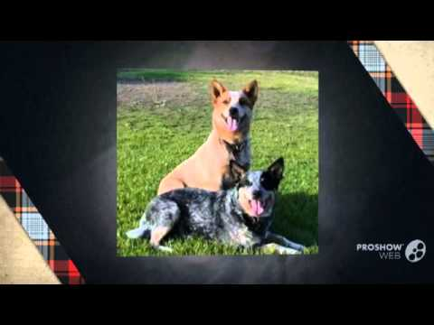 Pit Heeler Dog breed