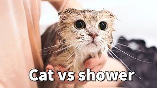 Scottishfold cat hates water and shower, meowing loudly and tips of giving cats shower