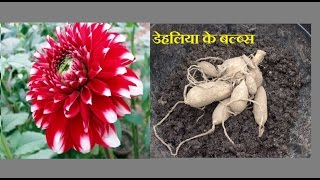 How to collect and store Dahlia bulbs/tubers (Hindi/Urdu)
