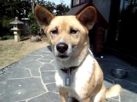 Mari, the Japanese dog