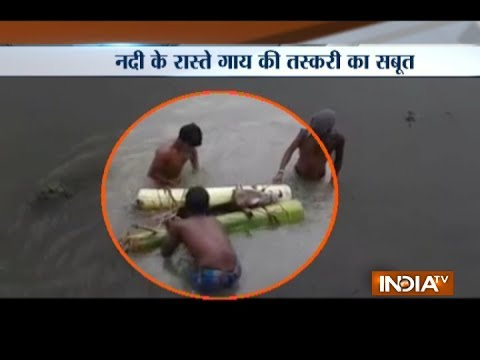 Cows Smuggled to Bangladesh on Floating Banana Stems from Assam