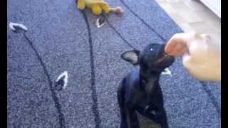 Lila, Patterdale Terrier