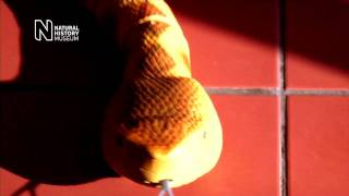 Radio Controlled Rattlesnake from The Natural History Museum [HD]