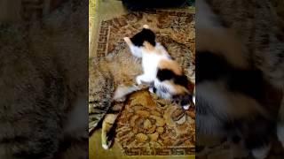 Котенок трехцветный играет с кошкой Tricolor kitten playing with a cat