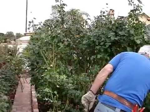 Quick California Rose Pruning Using a Hedge Trimmer