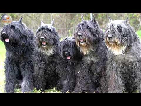 Bouvier Des Flandres   Dog Breed   YouTube