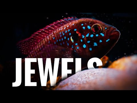 Hemichromis Lifalili/Jewel Cichlids-The Most Underrated Fish Of The Cichlid World