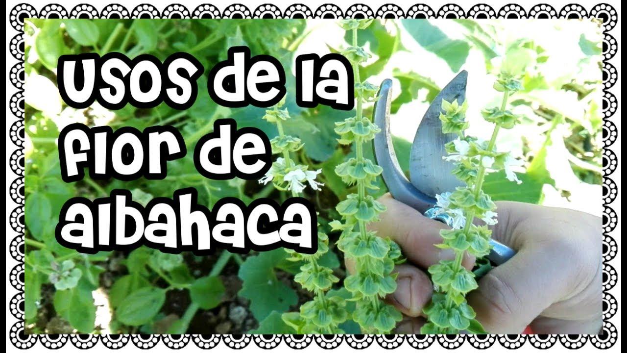 Como recolectar flor de albahaca usos de la flor de - Plantas de interior aromaticas ...
