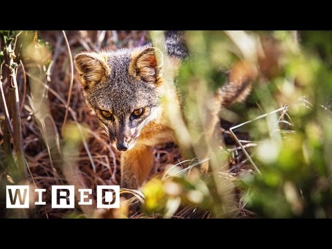 Meet the Tiny Foxes That Shouldn't Be Alive | WIRED