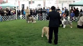 Exposición Kennel Club Chile, La Serena - Golden Retriever