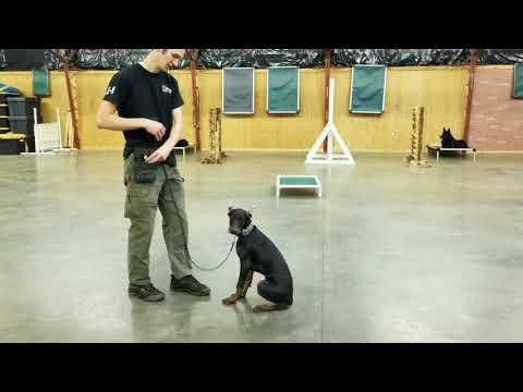Wilco von Prufenpuden 19 Wks Beautiful Black & Red Doberman Puppy