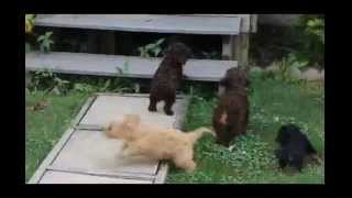 Miniature Poodle Mix Puppies For Sale