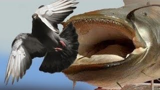 CATFISH VS PIGEON AMAZING VIDEO by CATFISHING WORLD