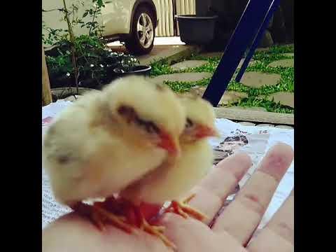 世界最小の鶏、セラマ種ヒヨコのうたた寝