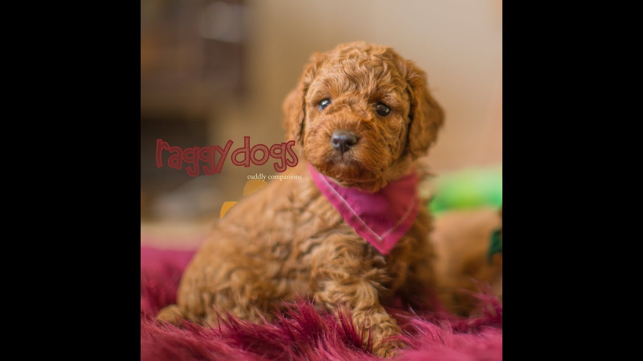 Cavoodle Puppies For Sale Sydney 5 Weeks Old Cavapoo Puppy Breeder