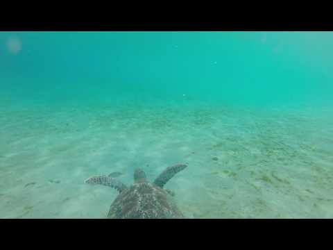 Tortue Marine, Anse Dufour, Martinique.