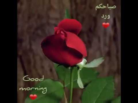 Rose Good Morning