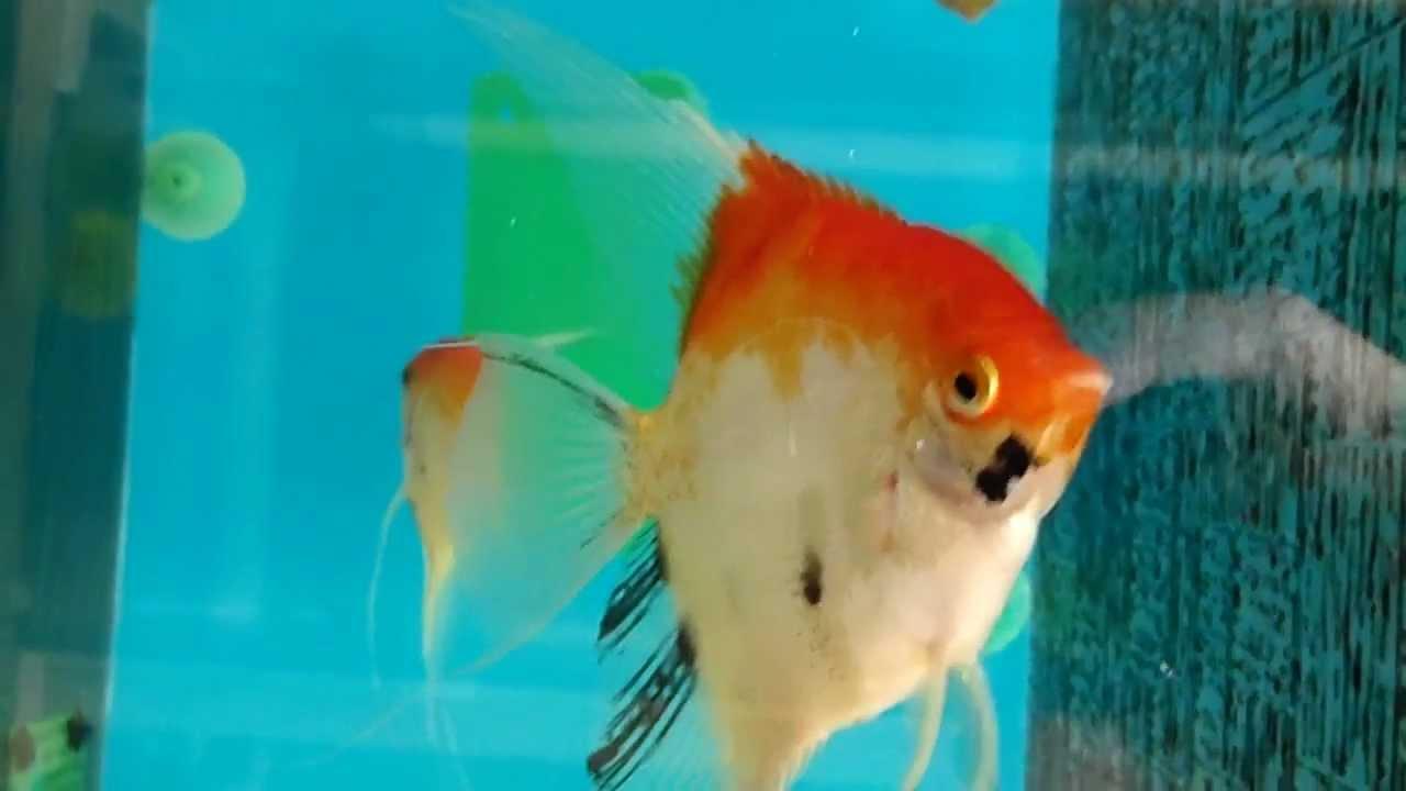Tropical fish farm slovak republic pterophyllum scalare for Red devil fish for sale