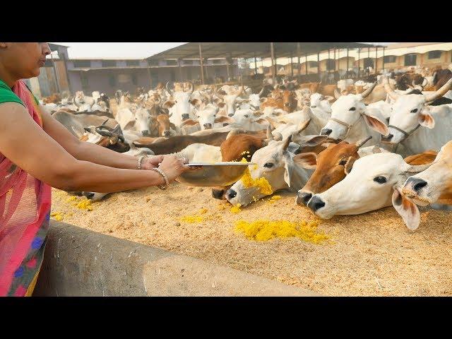 Death of cows in vijayawada goshala mystery solved-today telugu breaking news-aug122019