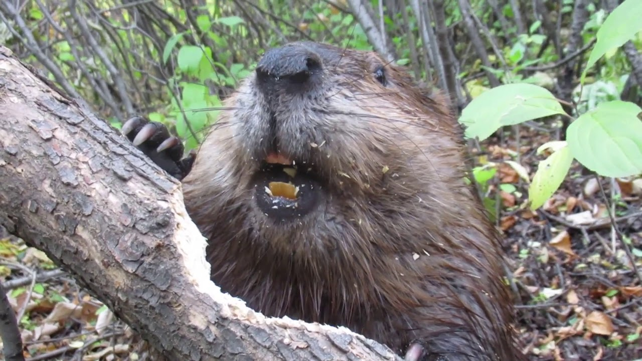 Download Beaver chews through tree limb: close up footage: See how beavers do it!